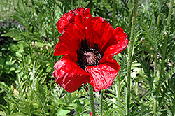 Beauty of Livermere Poppy (Papaver orientale 'Beauty of Livermere') at Jensen's Nursery & Landscaping