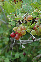Pixwell Gooseberry (Ribes 'Pixwell') at Jensen's Nursery & Landscaping