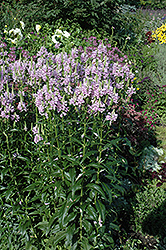 Obedient Plant (Physostegia virginiana) at Jensen's Nursery & Landscaping