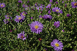 Sapphire Aster (Aster dumosus 'Sapphire') at Jensen's Nursery & Landscaping