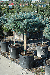 Globe Blue Spruce (tree form) (Picea pungens 'Globosa (tree form)') at Jensen's Nursery & Landscaping