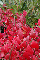 Burning Bush (tree form) (Euonymus alatus '(tree form)') at Jensen's Nursery & Landscaping