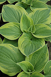 Wide Brim Hosta (Hosta 'Wide Brim') at Jensen's Nursery & Landscaping