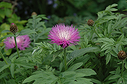 Cornflower (Centaurea dealbata) at Jensen's Nursery & Landscaping