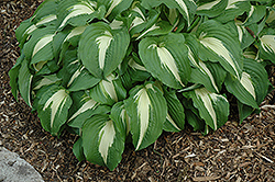 Night Before Christmas Hosta (Hosta 'Night Before Christmas') at Jensen's Nursery & Landscaping