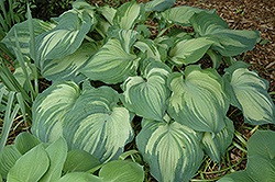 Guardian Angel Hosta (Hosta 'Guardian Angel') at Jensen's Nursery & Landscaping