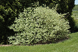 Silver and Gold Dogwood (Cornus sericea 'Silver and Gold') at Jensen's Nursery & Landscaping