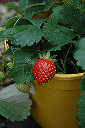 Kent Strawberry (Fragaria 'Kent') at Jensen's Nursery & Landscaping