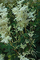 Variegated Queen Of The Meadow (Filipendula ulmaria 'Aureovariegata') at Jensen's Nursery & Landscaping