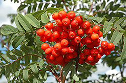 Cardinal Royal Mountain Ash (Sorbus aucuparia 'Cardinal Royal') at Jensen's Nursery & Landscaping