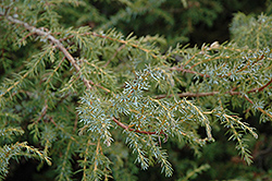 Common Juniper (Juniperus communis) at Jensen's Nursery & Landscaping