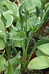 Praying Hands Hosta (Hosta 'Praying Hands') at Jensen's Nursery & Landscaping