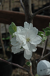 Millstream Apple (Malus 'Millstream') at Jensen's Nursery & Landscaping