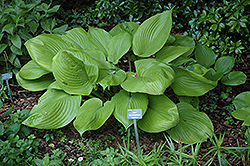 Sum and Substance Hosta (Hosta 'Sum and Substance') at Jensen's Nursery & Landscaping