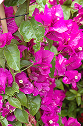Purple Queen® Bougainvillea (Bougainvillea 'Moneth') at Jensen's Nursery & Landscaping