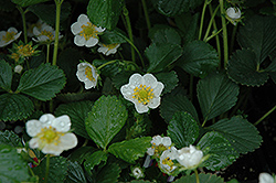 Seascape Strawberry (Fragaria 'Seascape') at Jensen's Nursery & Landscaping