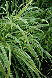 Dallas Blues Switch Grass (Panicum virgatum 'Dallas Blues') at Jensen's Nursery & Landscaping