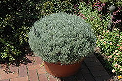 Curry Plant (Helichrysum italicum) at Jensen's Nursery & Landscaping