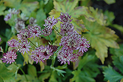 Abbey Road Masterwort (Astrantia major 'Abbey Road') at Jensen's Nursery & Landscaping