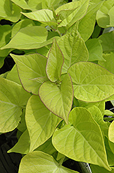 Sweetheart Light Green Sweet Potato Vine (Ipomoea batatas 'Sweetheart Light Green') at Jensen's Nursery & Landscaping