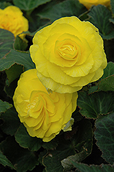 Nonstop® Yellow Begonia (Begonia 'Nonstop Yellow') at Jensen's Nursery & Landscaping