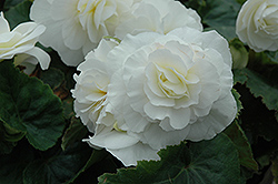 Nonstop® White Begonia (Begonia 'Nonstop White') at Jensen's Nursery & Landscaping