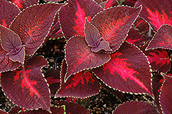ColorBlaze® Kingswood Torch Coleus (Solenostemon scutellarioides 'Kingswood Torch') at Jensen's Nursery & Landscaping