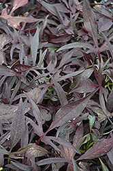 Illusion Midnight Lace Sweet Potato Vine (Ipomoea batatas 'Illusion Midnight Lace') at Jensen's Nursery & Landscaping