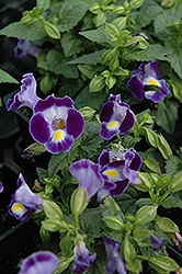 Catalina Midnight Blue Torenia (Torenia 'Catalina Midnight Blue') at Jensen's Nursery & Landscaping