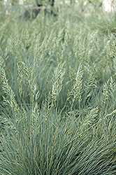 Elijah Blue Fescue (Festuca glauca 'Elijah Blue') at Jensen's Nursery & Landscaping