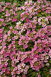 Easter Bonnet Deep Pink Alyssum (Lobularia maritima 'Easter Bonnet Deep Pink') at Jensen's Nursery & Landscaping