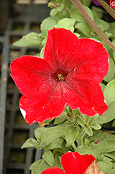 Madness Red Petunia (Petunia 'Madness Red') at Jensen's Nursery & Landscaping