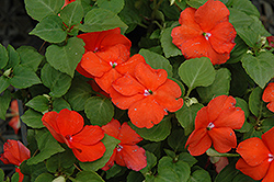 Super Elfin® Bright Orange Impatiens (Impatiens walleriana 'Super Elfin Bright Orange') at Jensen's Nursery & Landscaping