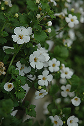 Abunda Giant White Bacopa (Sutera cordata 'Abunda Giant White') at Jensen's Nursery & Landscaping
