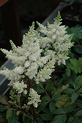 Younique White Astilbe (Astilbe 'Verswhite') at Jensen's Nursery & Landscaping
