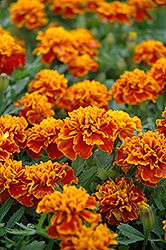 Little Hero Flame Marigold (Tagetes patula 'Little Hero Flame') at Jensen's Nursery & Landscaping