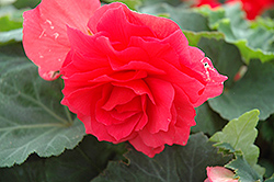 Nonstop® Bright Red Begonia (Begonia 'Nonstop Bright Red') at Jensen's Nursery & Landscaping