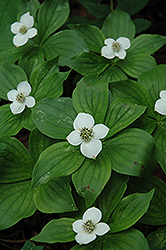 Bunchberry (Cornus canadensis) at Jensen's Nursery & Landscaping