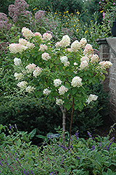 Limelight Hydrangea (tree form) (Hydrangea paniculata 'Limelight (tree form)') at Jensen's Nursery & Landscaping