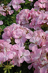 Designer Light Pink Geranium (Pelargonium 'Designer Light Pink') at Jensen's Nursery & Landscaping