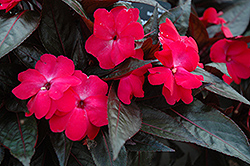 Celebration Electric Rose New Guinea Impatiens (Impatiens hawkeri 'Celebration Electric Rose') at Jensen's Nursery & Landscaping