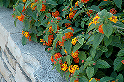 Lucky™ Red Flame Lantana (Lantana camara 'Lucky Red Flame') at Jensen's Nursery & Landscaping