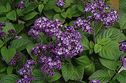 Fragrant Delight Heliotrope (Heliotropium arborescens 'Fragrant Delight') at Jensen's Nursery & Landscaping