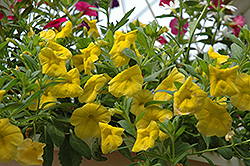 Superbells® Yellow Calibrachoa (Calibrachoa 'Superbells Yellow') at Jensen's Nursery & Landscaping