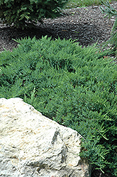 Broadmoor Juniper (Juniperus sabina 'Broadmoor') at Jensen's Nursery & Landscaping