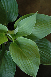 Empress Wu Hosta (Hosta 'Empress Wu') at Jensen's Nursery & Landscaping