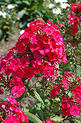 Red Flame Garden Phlox (Phlox paniculata 'Red Flame') at Jensen's Nursery & Landscaping