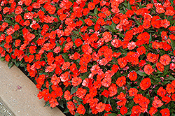 SunPatiens® Compact Electric Orange New Guinea Impatiens (Impatiens 'SunPatiens Compact Electric Orange') at Jensen's Nursery & Landscaping