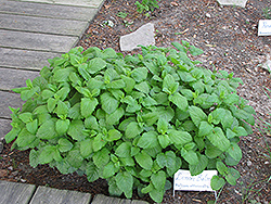 Lemon Balm (Melissa officinalis) at Jensen's Nursery & Landscaping