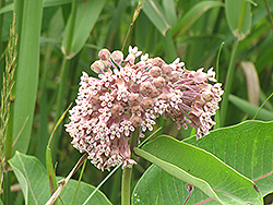 Common Milkweed (Asclepias syriaca) at Jensen's Nursery & Landscaping